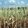 Tribune-Star/Jim Avelis<br /> Chance of rain: Hot, dry weather continues to destroy crops in Indiana.