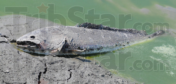 Tribune-Star/Jim Avelis<br /> Toothy: A bowfin carcass lies half out of the waters of the Wabashiki Fish and Wildlife Area Thursday afternoon. The bowfin were among the last of the fishes to succumb to the drought.