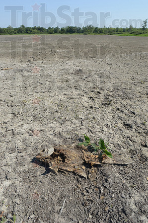 Tribune-Star/Jim Avelis<br /> Picked clean: The bones of a fish, one of hundreds, lay in the dried lake bed south of Dewey Point in the Wabashiki Fish and Wildlife area Thursday afternoon. The drought has meant death for the fish, but easy meals for the areas predators and scavengers.