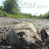 Tribune-Star/Jim Avelis<br /> No chance: Lack of rain left hundreds of carp, bowfin and other fishes stranded on the dried, cracked grounds of the Wabashiki Fish and Wildlife Area in western Vigo County.