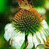 Tribune-Star/Joseph C. Garza<br /> Habitat inhabitant: A butterfly lands on a cone flower in Ellen Urbanski's backyard Friday, July 6.