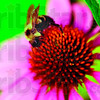 Tribune-Star/Joseph C. Garza<br /> Resident gardener: A bumble bee becomes covered in pollen as it scours a cone flower at Brenda and Phil Milliren's home in northern Vigo County Friday, July 6.