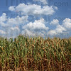 Tribune-Star/Jim Avelis<br /> Disaster: The U.S. Department of Agriculture Wednesday declared a natural disaster in 14 more of Indiana's 92 counties, including Vigo and Vermillion counties, bringing the total number to 64 counties in the state. Here western Indiana corn withers in 103 degree heat.