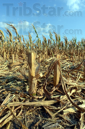 Tribune-Star/Jim Avelis<br /> Destroyed: The stubble of corn stalks stick up from a southern Vigo County cornfield Wednesday July 25, 2012. Many farmers are cutting down or plowing under drought stricken cornfields.