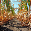 Tribune-Star/Jim Avelis<br /> Drying out: Corn in  a southern Vigo county field is drying out from the bottom up. Lack of timely rains has doomed much of Indiana's corn crop.