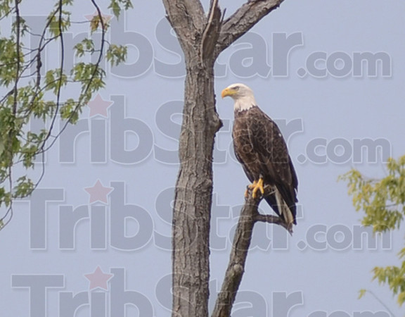 Tribune-Star/Jim Avelis<br /> Easy pickings: Low river levels on the Wabash River means easier hunting for predators like this mature bald eagle.