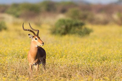 Impala in Yellow Field
