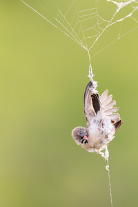 Bird Stuck in Spider Web