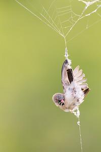 Bird Stuck in Spider Web