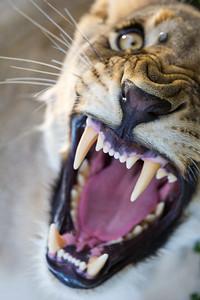 Lioness Snarl