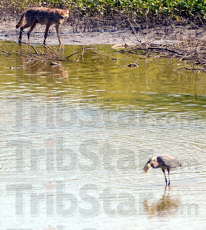 Tribune-Star/Jim Avelis<br /> Meal time: A female coyote stalks the edge of a pool in the Wabashiki Fish and Wildlife Area just east of Dewey Point Wednesday afternoon. In the foreground, a Great Blue Heron tries to down its catch.