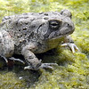 Tribune-Star/Jim Avelis<br /> Wet walk: A toad rests algae on what was once the bottom of Honey Creek. Lack of rain has drastically reduced the flow on the southern Vigo County Creek.