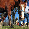 The good life: Bruce Lorenzen leads a rescue horse at the Peacefield rescue Saturday afternoon.