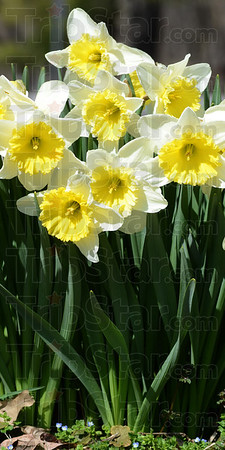 Tribune-Star/Jim Avelis<br /> Just dandy: Daffodils reach for the sun from their flower patch at Dobb's Park.