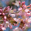 Tribune-Star/Jim Avelis<br /> What's the buzz: A honey bee gathers pollen from redbud blossoms at Dobb's Park last week. An early warmup has many trees setting blooms earlier than usual.