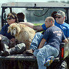 Tribune-Star/Jim Avelis<br /> Leg saver: Several of the K-9 search teams rode to their start point on Wednesday, saving the dogs and their handlers some walking in the heat of the evening.