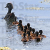 Tribune-Star/Jim Avelis<br /> Family outing: A wood duck hen takes her brood of 13 for an afternoon swim Monday may 14, 2012. They were at the J.I. Case Wetlands east of Terre Haute.
