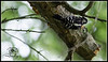 Small in size, black spots on tail...downy woodpecker
