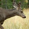 A herd of mule deer came to visit