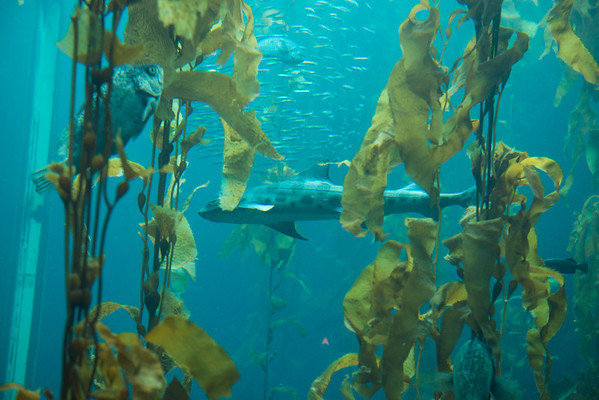 Shark in kelp forest!