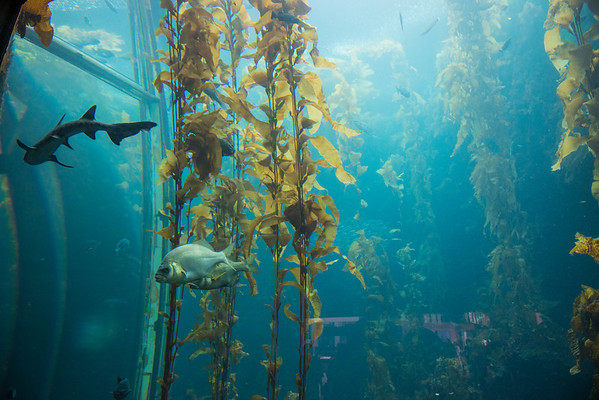 More kelp forest with fishies and sharky