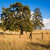 Oak amidst the grass