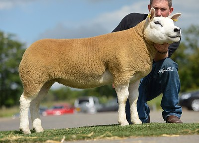 Female and overall champion, Fairywater gimmer sold for 11,000gns