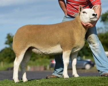 Fairywater gimmer sold for 2800gns