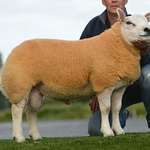Ballynulto Thor sold for 1400gns