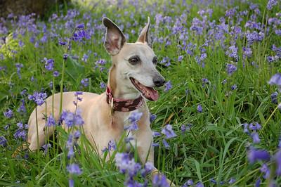 Penny amongst the bluebells 2012