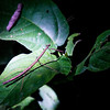 A stick-bug during our night hike.