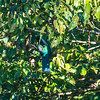 "The only animal we saw the entire time while in the Canopy! A ""Blue crowned Trogon"".<br /> <br /> Apparently I was also the only person who saw this. THanks to my camera at 300mm and a huge amount of cropping, I was able to pull out some details of this guy. It looked like a spec when I spotted him in the trees."