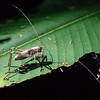 Another grasshopper thingie.