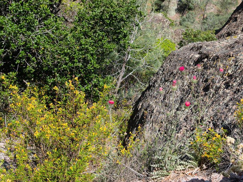 Monkeyflower and venus thistle