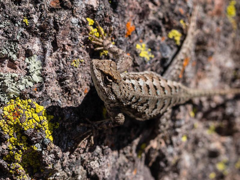 Lizard on his rock