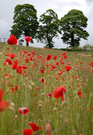 Poppy field, Roslin