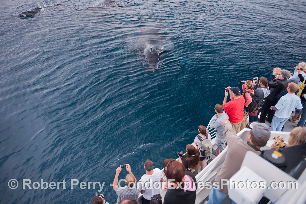 Megaptera novaeanliae 3 & passengers ROPE 2012 09-22 SB Channel-f-031