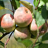 Tribune-Star/Jim Avelis<br /> Survivors: This cluster of apples survived both the late frost in April and the drought this summer. Ditzler's orchard in southern Parke county lost about 90 percent of it's blossoms to the freeze.