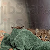 Tribune-Star/Joseph C. Garza<br /> Huddle together: A bobcat kitten peeks out from behind blankets as it snuggles with a sibling in a cage at Pet Care Animal Hospital Tuesday.