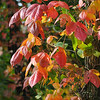 Tribune-Star/Jim Avelis<br /> Changing: Poison Ivy vines have begun their annual changing of color. This vine is in Southern Vigo county.