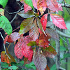 Tribune-Star/Jim Avelis<br /> Indicator: Virginia Creeper is one of the first plants to change color in the Fall. The vine is found in fence rows and climbing trees.