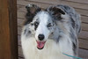 Iced Maiden Blue Merle Sheltie