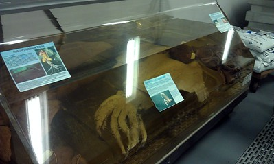 Some specimens of cephalopods, such as the robust clubhook squid