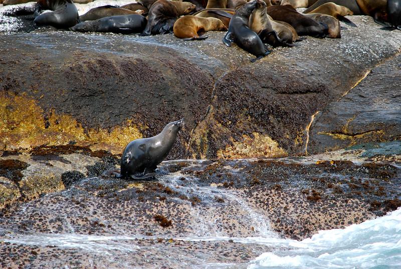 Seals off the Cape Penninsula