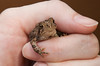 _MG_7504 baby toad