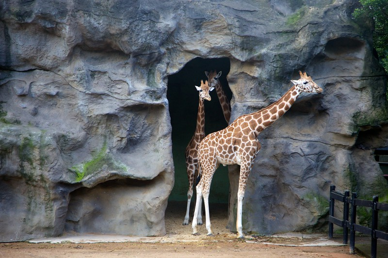Giraffes coming out with the sun.
