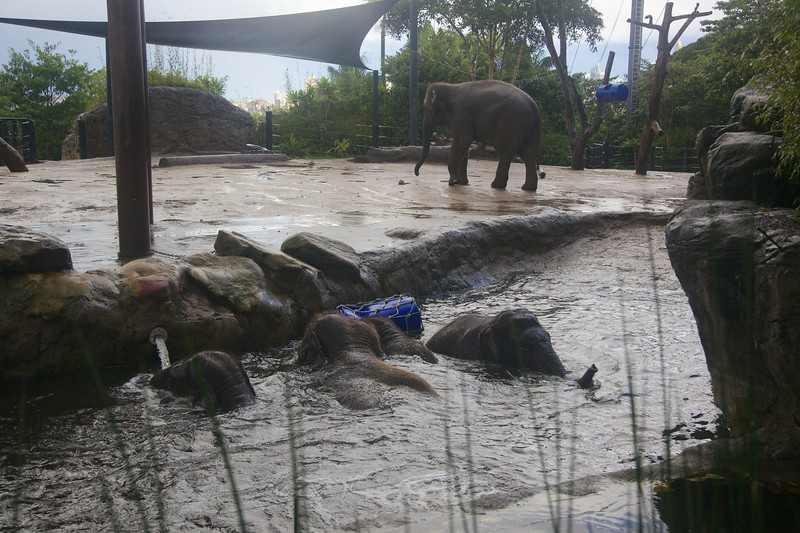 As the heavy rain started to fall the elephants leaped into the pool in their enclosure for a bit of a paddle.