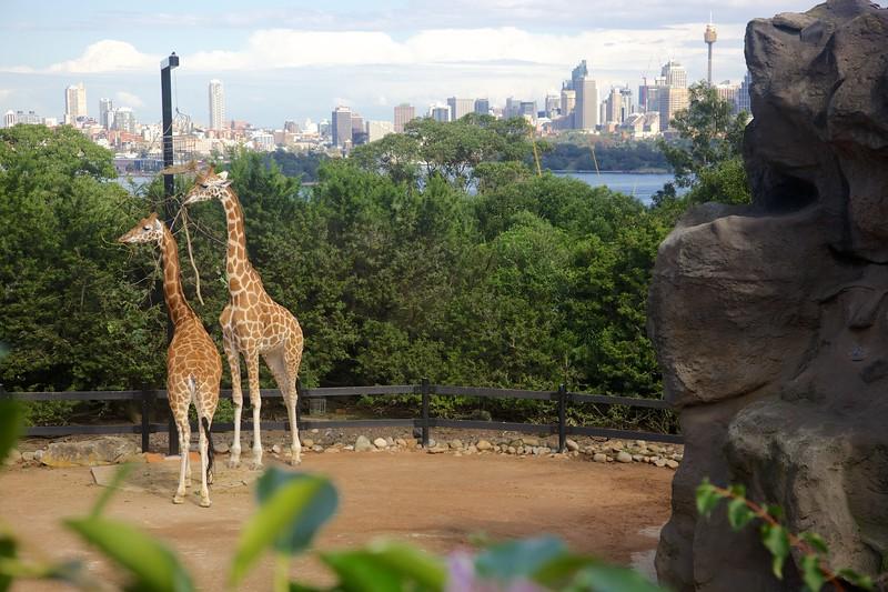 Giraffes. City.
