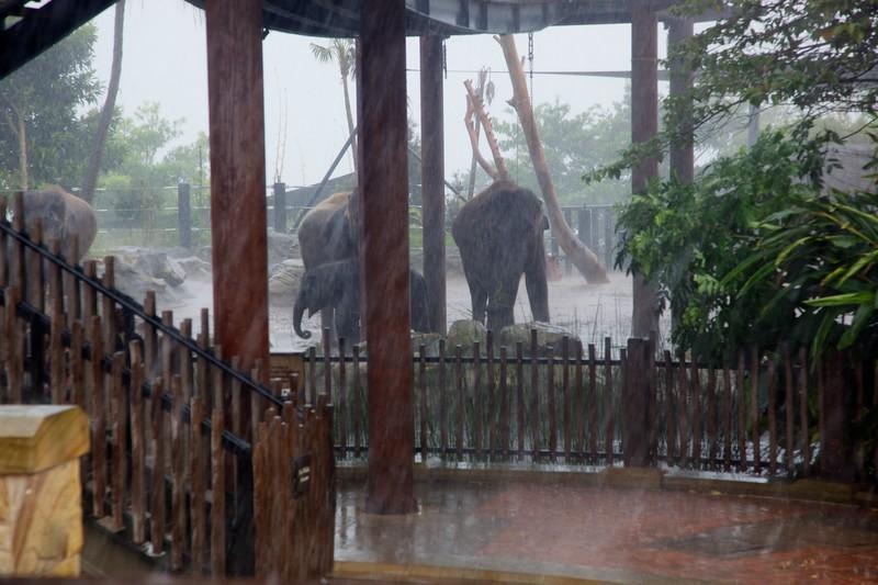 Elephants in the rain.