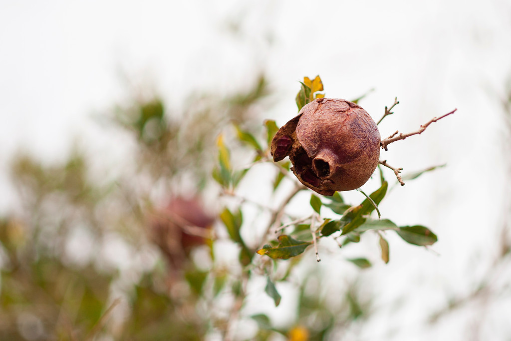 Pomegranate tree.